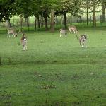 Deer grasing in the extended yard