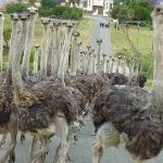 Ostrich drive