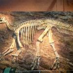 Iguanodon fossil skeleton