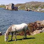 Eriskay Pony, Kisimul Castle and Castlebay