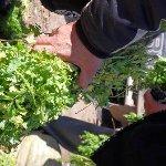 les plantes pour le thé
