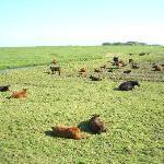 Kühe und ihre Kelber
