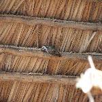 Nubian Woodpecker next door