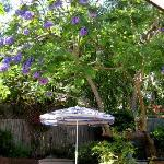 One of the jacaranda trees in bloom