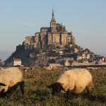 Merino sheep in Mt St Michel
