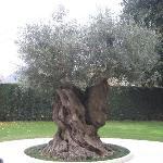 olivier de 600 ans
