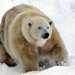 Mercedes the polar bear at the Highland Wildlife Park Kincraig