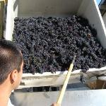 Pinot being crushed