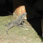 Iguana in the ruin