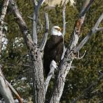 Magnificant bald eagle