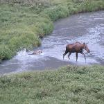 Baby Moose behind lodge- from deck