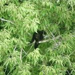 Ixpanajul - black howler monkey