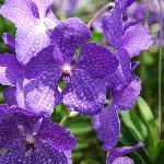 Mae Sa Orchid Farm 1