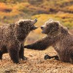 Bear cubs playing around
