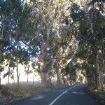 Åldersstigna eucalyptusträd i Chile