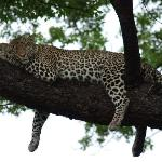Leopard lazing around