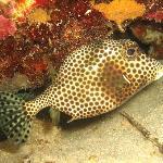 Bonaire Smooth Trunkfish