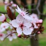 Sakura at the winery