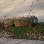 Roadside Iguana.