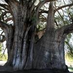 Imagen de Tule Tree