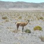 Guanaco in Atacama Desert