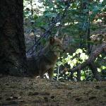 Coyots at Upper Pines