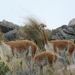 Vimos vicuñas!