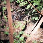 Palm Civet at the lodge nature walk