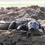 marsh crocodile [ mugger ]