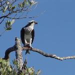 An osprey enjoying dinner in the mangroves down by the dock