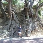 Roquebrune - l'olivier millénaire