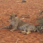 A relaxed Cheetah at Tswalu