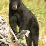 Canada Bear Photograpy Vacation at Errington's Wilderness Island Resort