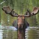 Canada Moose Photography Vacation at Errington's Wilderness Island Resort