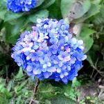 flower of sikim