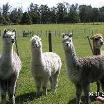 The Alpacas on the farm