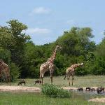 Giraffes at Monwana drinking pool