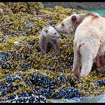 Grizzly and cub seen with Glenn