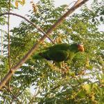 El Sol Verde, Parrot