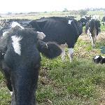 Vacas lecheras en Villa Celina