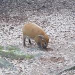 baby red river hog