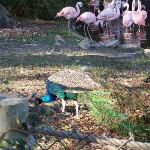peacock hanging out with the flamingos