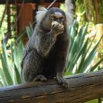 vilangelim, imbassai, monkey