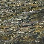 Salmon Spawning