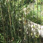 The Bengal Tiger.....