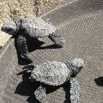 Turtles Anyone?  38 were hatched successfully and taken to Conservation Authorities
