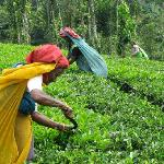 Cutting the tea among the sprawling plantations