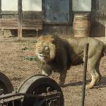 leones dos