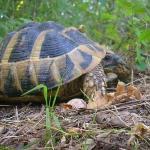 Es gibt noch Schildkröten  im Strandscha Gebirge!!!
