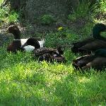 ducks taking a rest